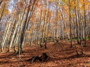 Buczyna przy górnej granicy lasu
